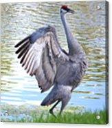 Strutting Sandhill Crane Acrylic Print