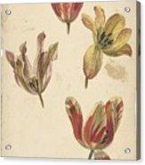 Studies Of Four Tulips, Elias Van Nijmegen, C. 1700 - C. 1725 Acrylic Print