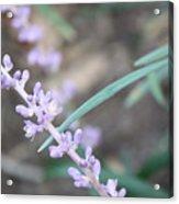 Study In Purple Monkey Grass Bloom Acrylic Print