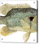 Study Of A Green Sunfish Acrylic Print