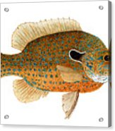 Study Of A Longear Sunfish Acrylic Print