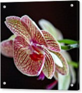 Study Of An Orchid 3 Acrylic Print
