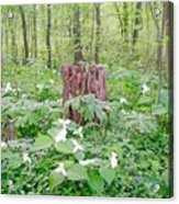 Stump By The Trilliums Acrylic Print