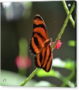 Stunning Little Orange Oak Tiger Butterfly In Nature Acrylic Print