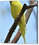 Stunning Little Yellow Budgie Parakeet In Nature Acrylic Print