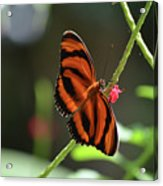 Stunning Oak Tiger Butterfly Resting On Flowers Acrylic Print