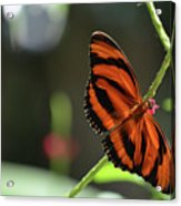 Stunning Orange And Black Oak Tiger Butterfly In Nature Acrylic Print