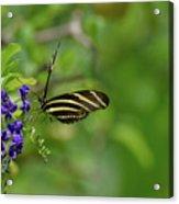 Stunning Shot Of A Zebra Butterfly On A Flower Acrylic Print