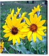 Stunning Wild Sunflowers Acrylic Print