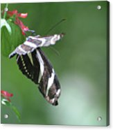 Stunning Zebra Butterfly On A Pink Flower Acrylic Print
