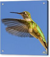 Stylized Hummingbird In Hover Acrylic Print