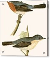 Sub Alpine Warbler Acrylic Print