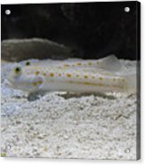 Substrate-sifting Diamond Watchman Goby Pair Acrylic Print