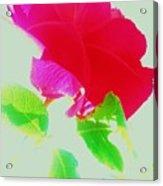 Subtle Rose Acrylic Print