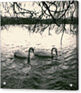 Subtle Swans  Acrylic Print
