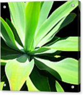 Succulent Agave Art By Sharon Cummings Acrylic Print
