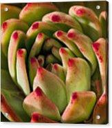 Succulent Petals Acrylic Print