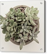 Succulent Plant From The Top Acrylic Print