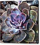 Succulent Plant Poetry Acrylic Print