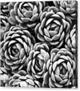Succulents In Black And White Acrylic Print