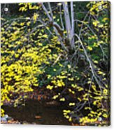 Sugar Maple Birch River Mirror Image Acrylic Print