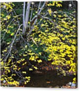 Sugar Maple Birch River Acrylic Print