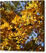 Sugar Maple Acrylic Print