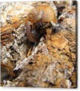 Sugarloaf Snail Acrylic Print