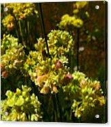 Sulfur Flower Acrylic Print