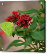 Sulphur Butterfly On Red Flower Acrylic Print