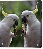 Sulphur Crested Cockatoo Pair Acrylic Print