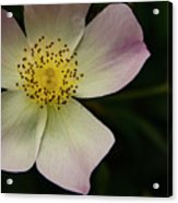 Sultry Hellebore Acrylic Print
