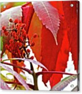 Sumac Closeup On White Pine Trail In Kent County, Michigan Acrylic Print