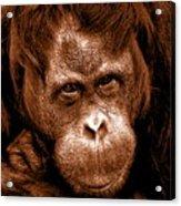 Sumatran Orangutan Female Acrylic Print