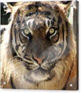 Sumatran Tiger-1440 Acrylic Print