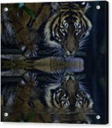 Sumatran Tiger Reflection Acrylic Print