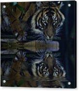 Sumatran Tiger Reflection Acrylic Print