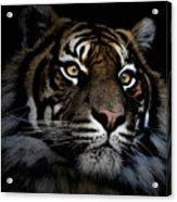 Sumatran Tiger Acrylic Print