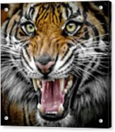 Sumatran Tiger Snarl Acrylic Print
