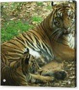 Sumatran Tigers  Acrylic Print
