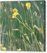 Summer Buttercups Acrylic Print