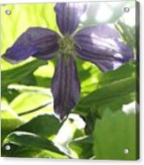 Summer Clematis In Light Shade Acrylic Print