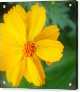 Summer Coreopsis Acrylic Print