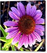 Summer Flower In Fading Light Acrylic Print