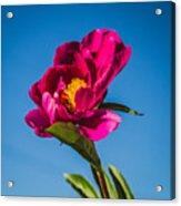Summer Flower Acrylic Print