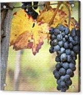 Summer Grapes Acrylic Print