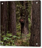 Summer In Redwood National Park Vertical Acrylic Print