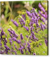 Summer Lavender In Lush Green Fields Acrylic Print