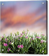 Summer Meadow Flowers In Grass At Sunset. Acrylic Print