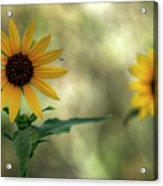Summer Of Sunflowers  Acrylic Print
